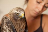 CDS - Aigle botté - Hieraaetus pennatus (Domaine Des Oiseaux, Ariège 09) 22 Juil 2012 #2