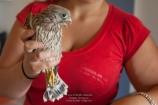 CDS - Faucon crécerelle - Falco tinnunculus (Domaine Des Oiseaux, Ariège 09) 24 Juin 2012 #1