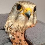 Faucon crécerelle - Falco tinnunculus (Domaine Des Oiseaux, Ariège) 17 Avr 2013 #1
