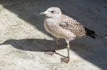 Goéland leucophée - Larus michahellis (CDS - Domaine des Oiseaux, Ariège)
