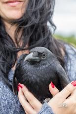 Corneille noire - (Domaine Des Oiseaux, Centre de Soins) 11 juin 2016