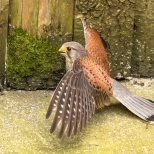 Faucon crécerelle - Falco tinnunculus (Domaine Des Oiseaux, Centre de Soins) 11 juin 2016