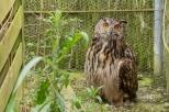 Grand-duc d'Europe - Bubo bubo (Domaine Des Oiseaux, Centre de Soins) 11 juin 2016