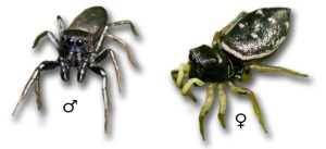 Heliophanus