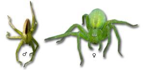 Micrommata ligurina