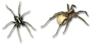 Pardosa