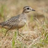 pluvier-guignard-charadrius-morinellus-centre-de-soins-domaine-des-oiseaux-ariege-17-septembre-2016